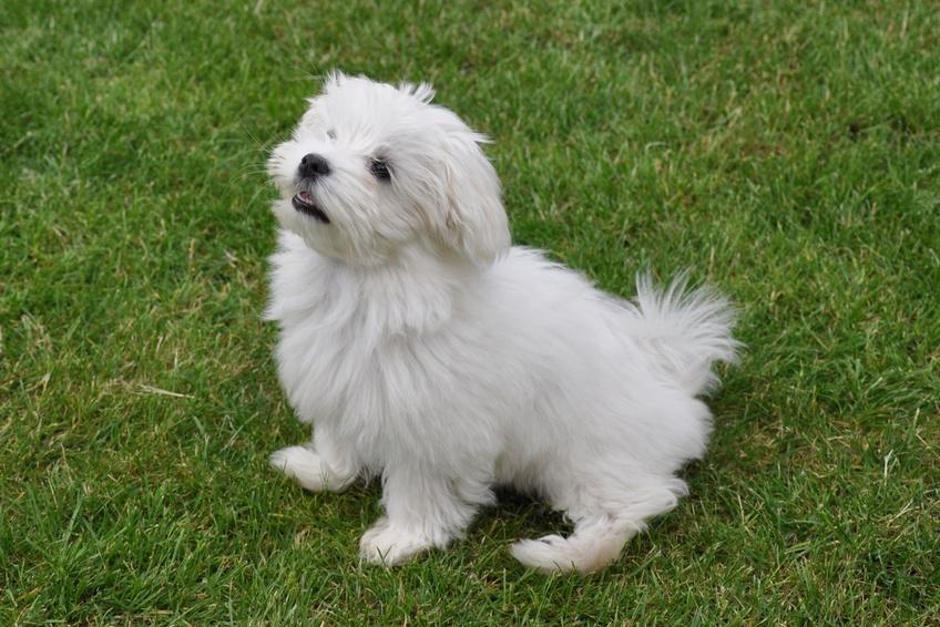 maltezer puppy