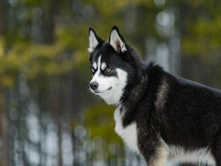 Pomksy hond met 2 verschillende kleuren ogen