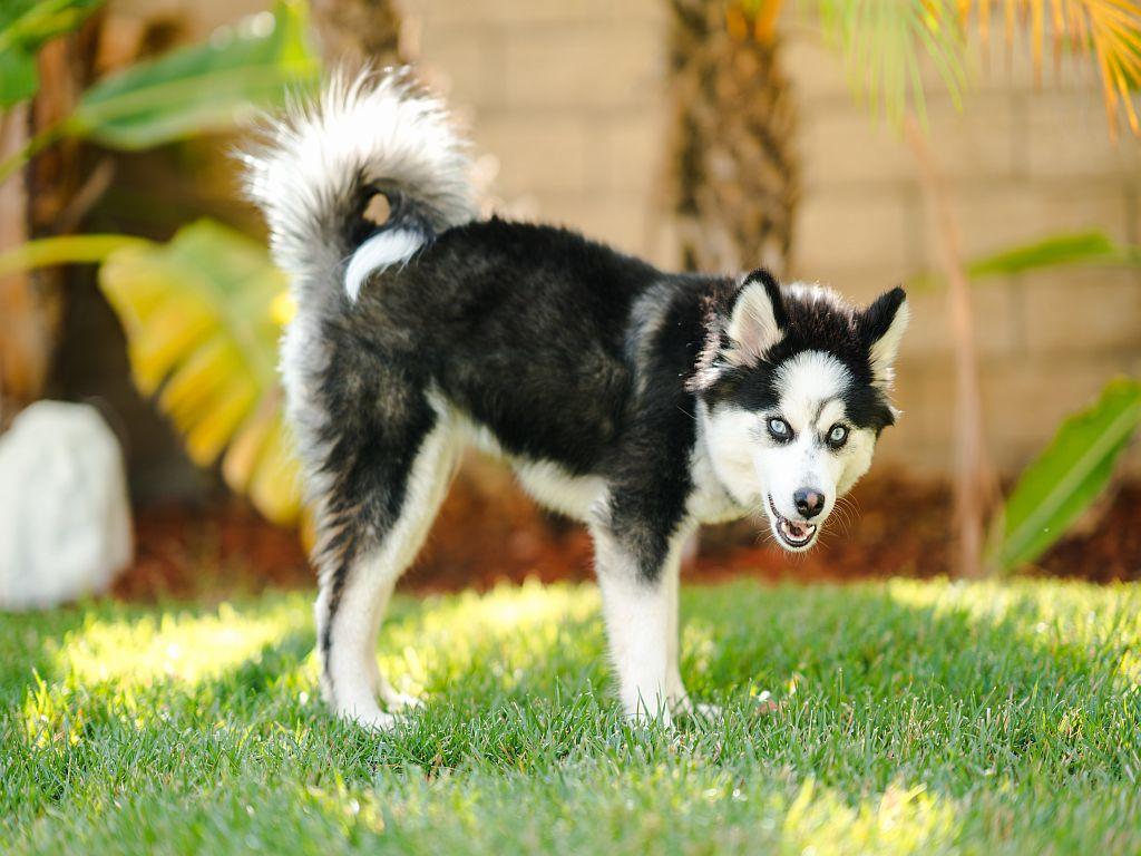 Pomsky-hond in het gras