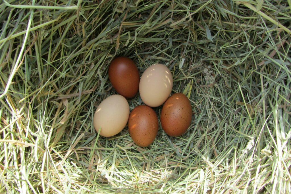 Eier von Marans