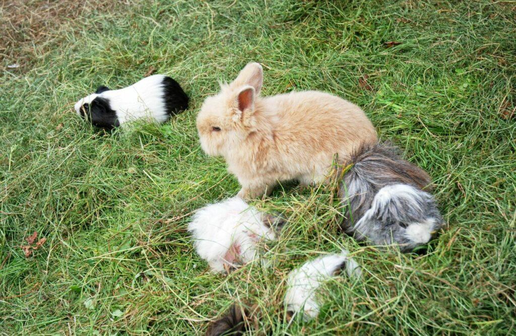 Groep cavia's en konijn in gras