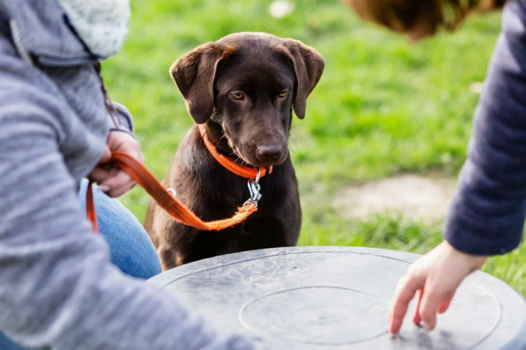 Jonge labrador hondenschool