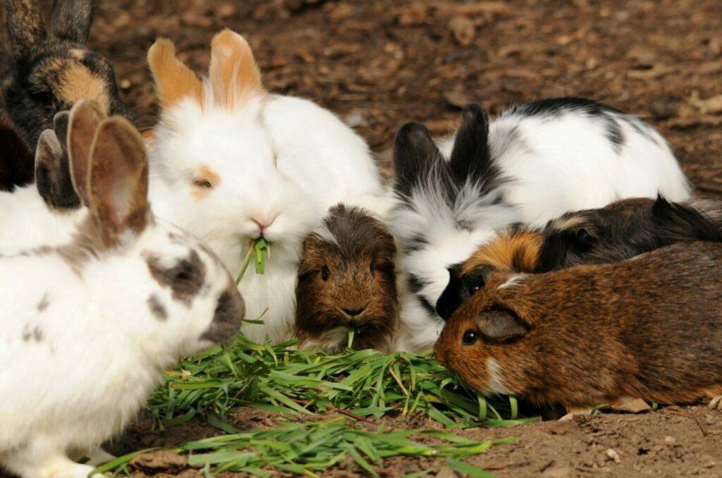 Etende cavia's en konijnen.