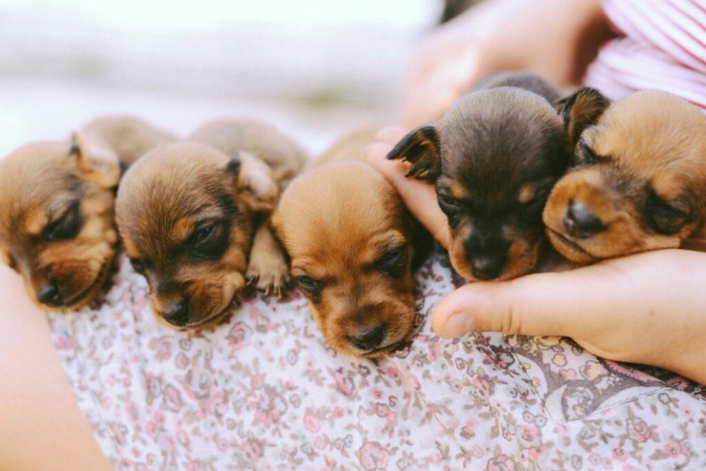 Socialisatie puppy's mens