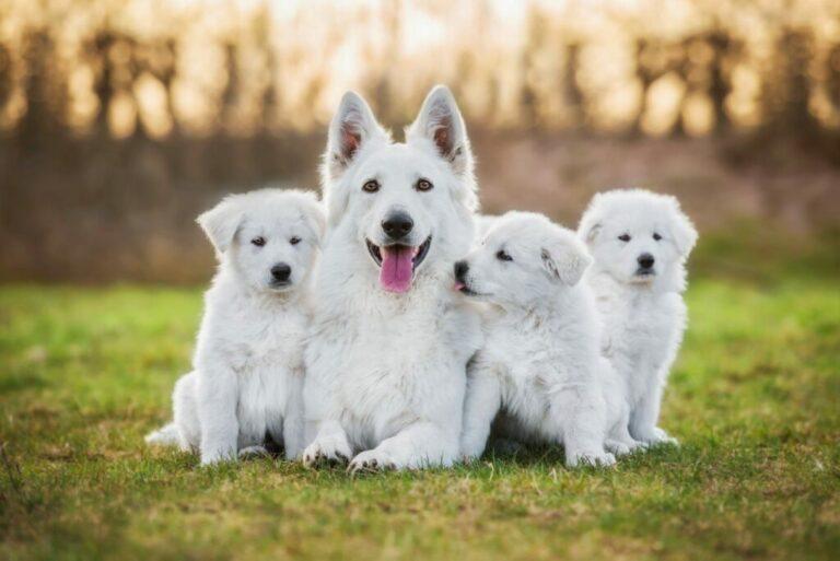 Witte Herdershond puppy's