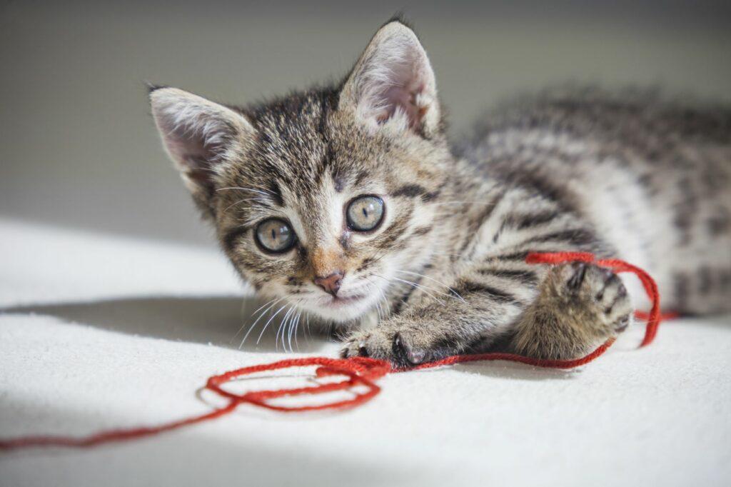 Kat met wol