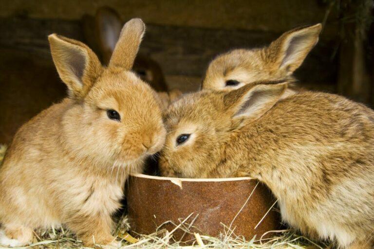 Etende konijnen