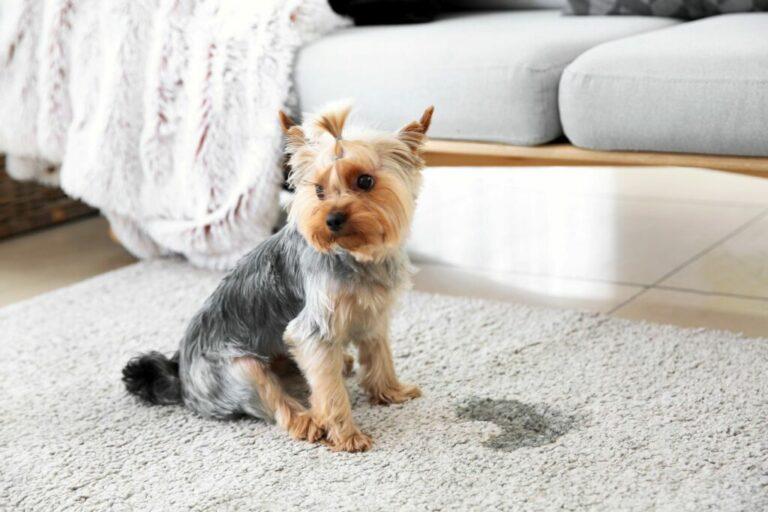 Hond urinevlek verwijderen tapijt