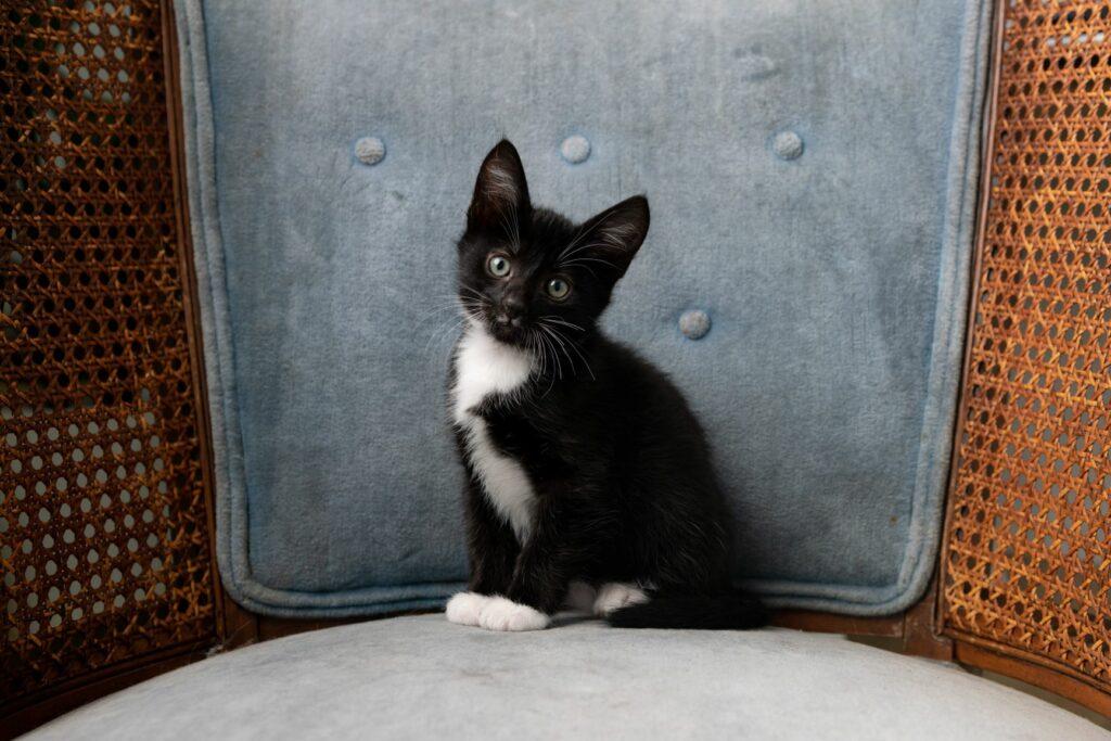 Tuxedo-kitten