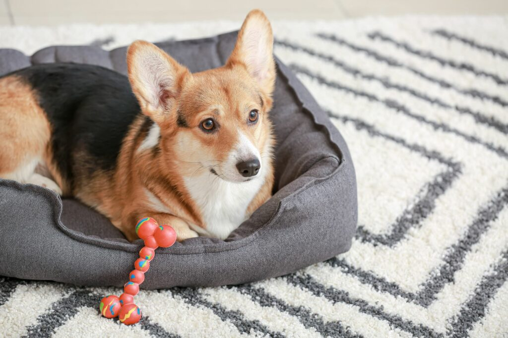 corgi op hondenbed