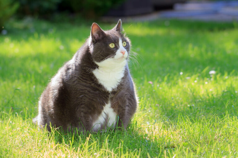 dikke kat op gras