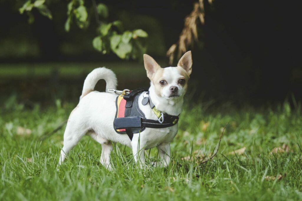 Chihuahua met hondentuigje mantrailing