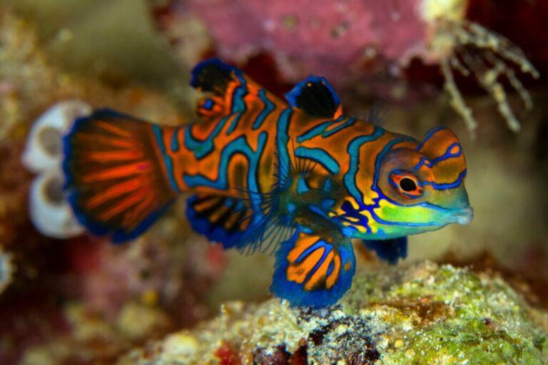Mandarijnpitvis aquarium