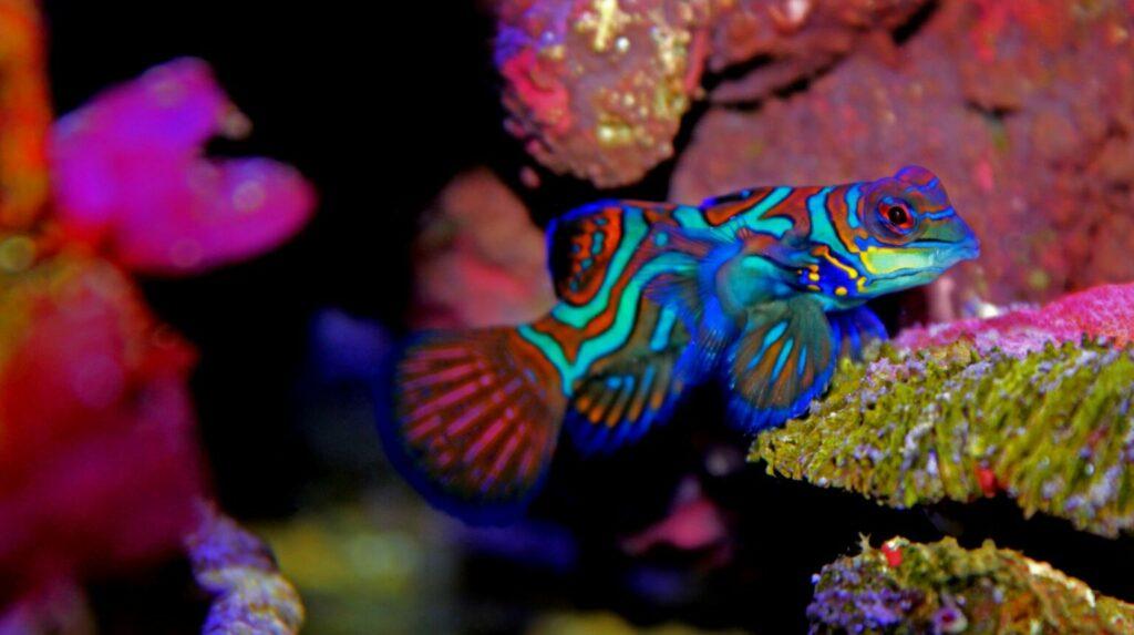 Mandarijnpitvis koraal
