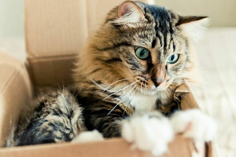 Kat zit in doos