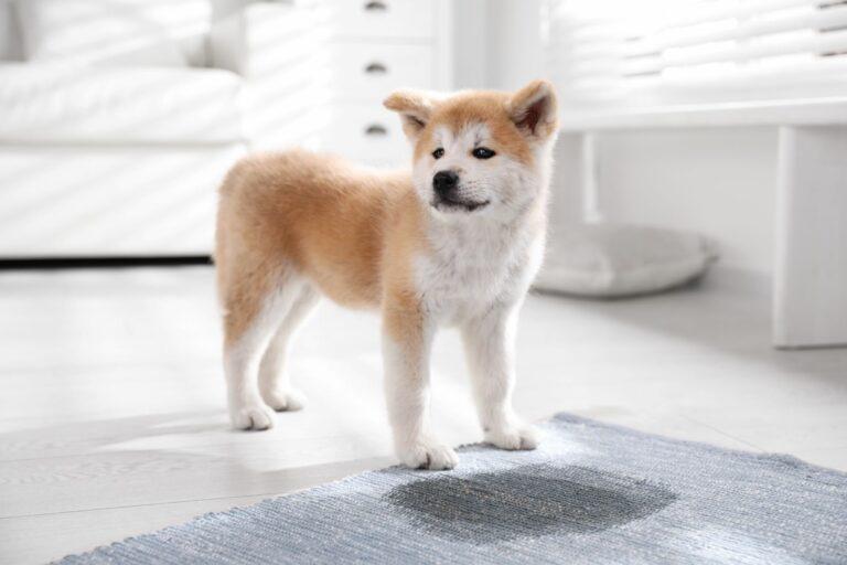Akita Inu puppy vlek tapijt