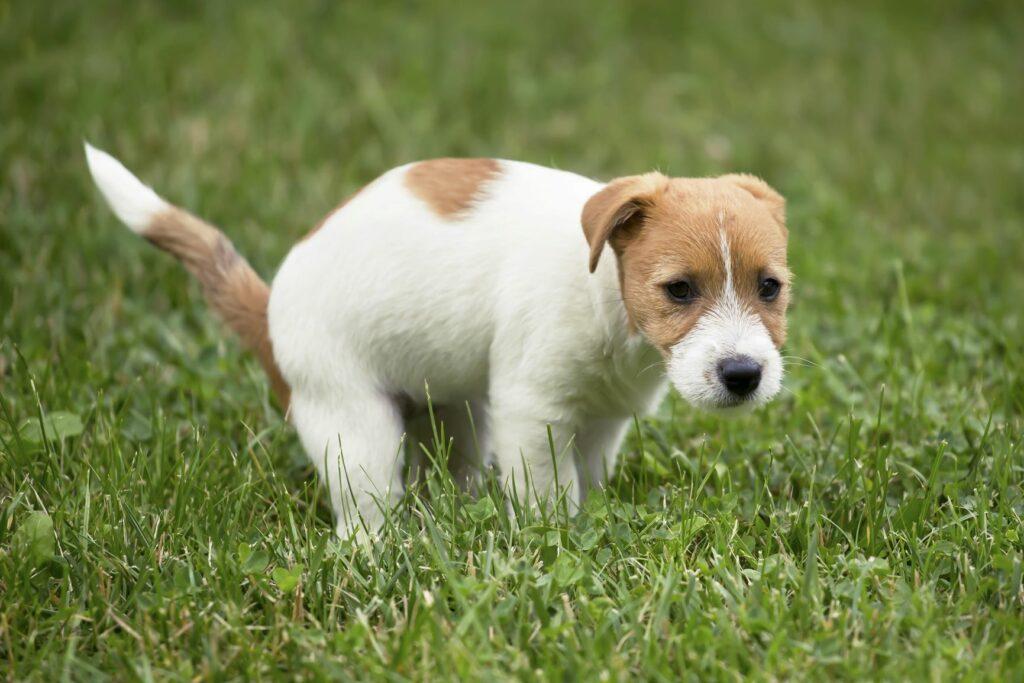 Jack Russel puppy in wei