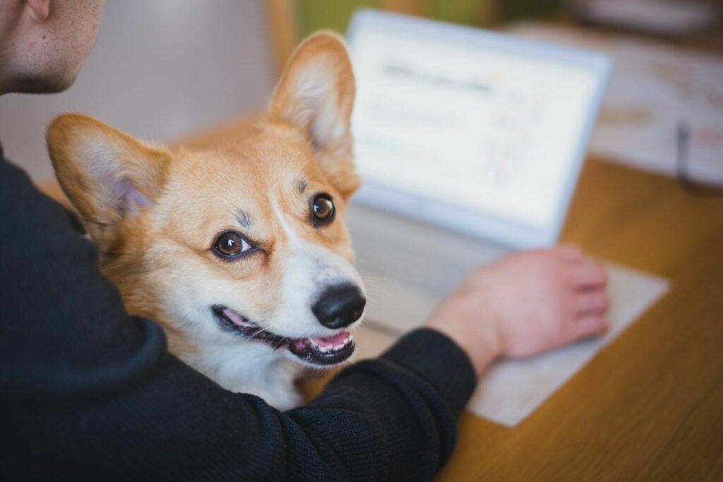corgi op schoot achter laptop