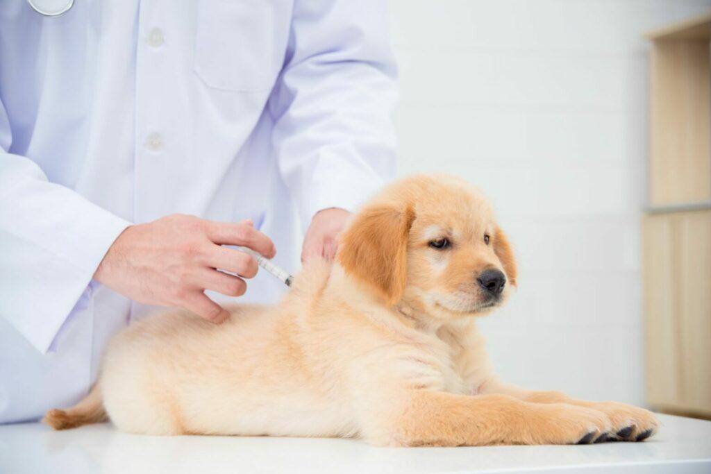 puppy krijgt een inenting bij de dierenarts
