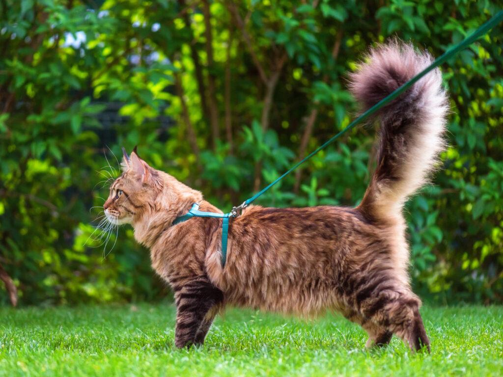 kat aan lijn