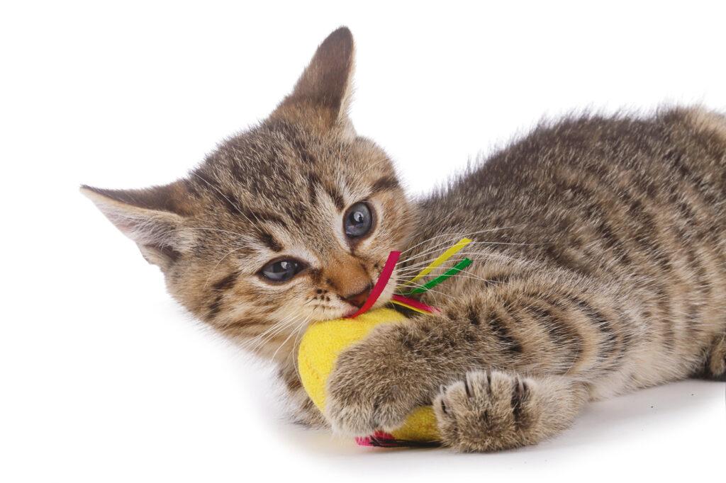 kitten speelt