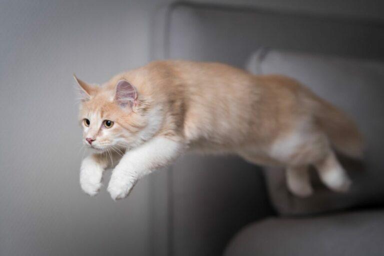 springende kat