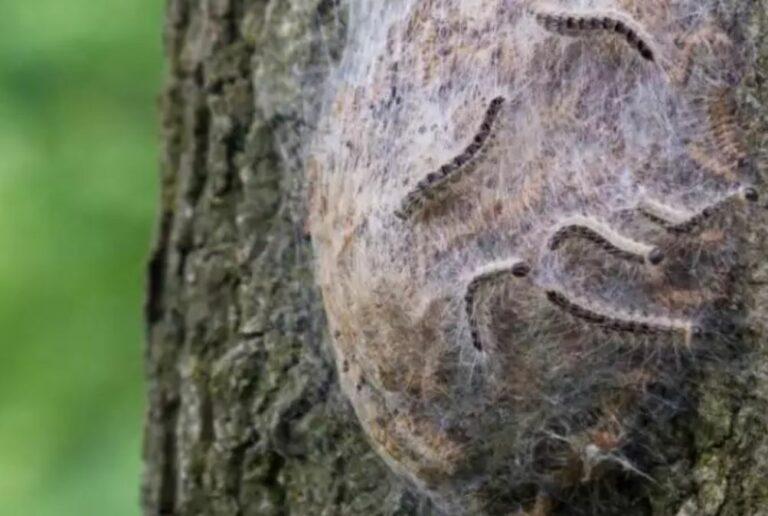 Eikenprocessierups nest boom