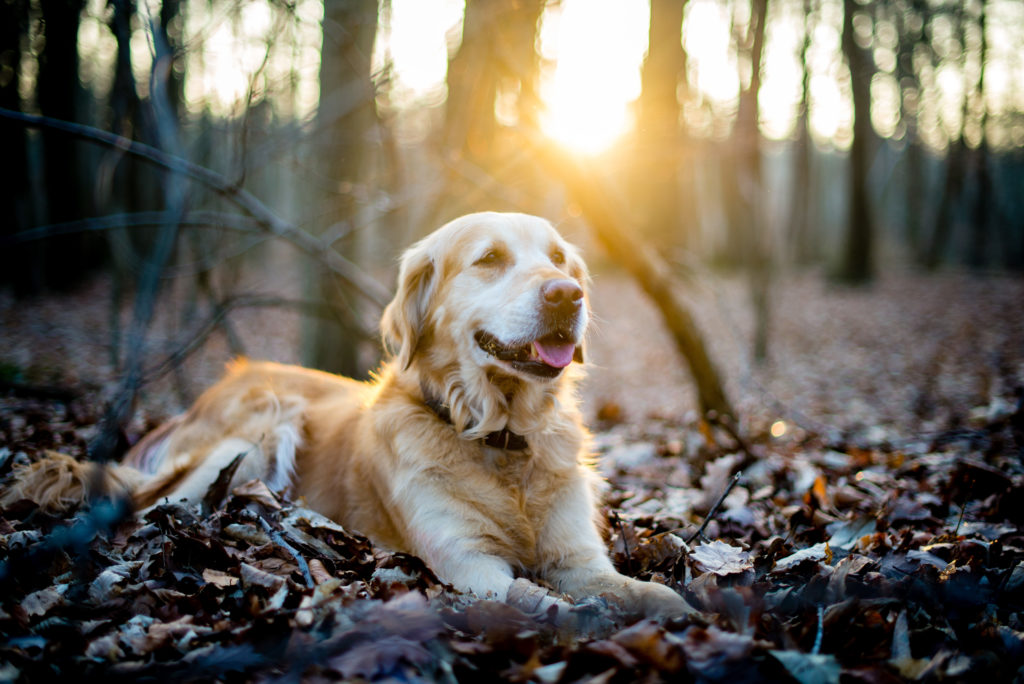 Golden Retriever ligt in bos