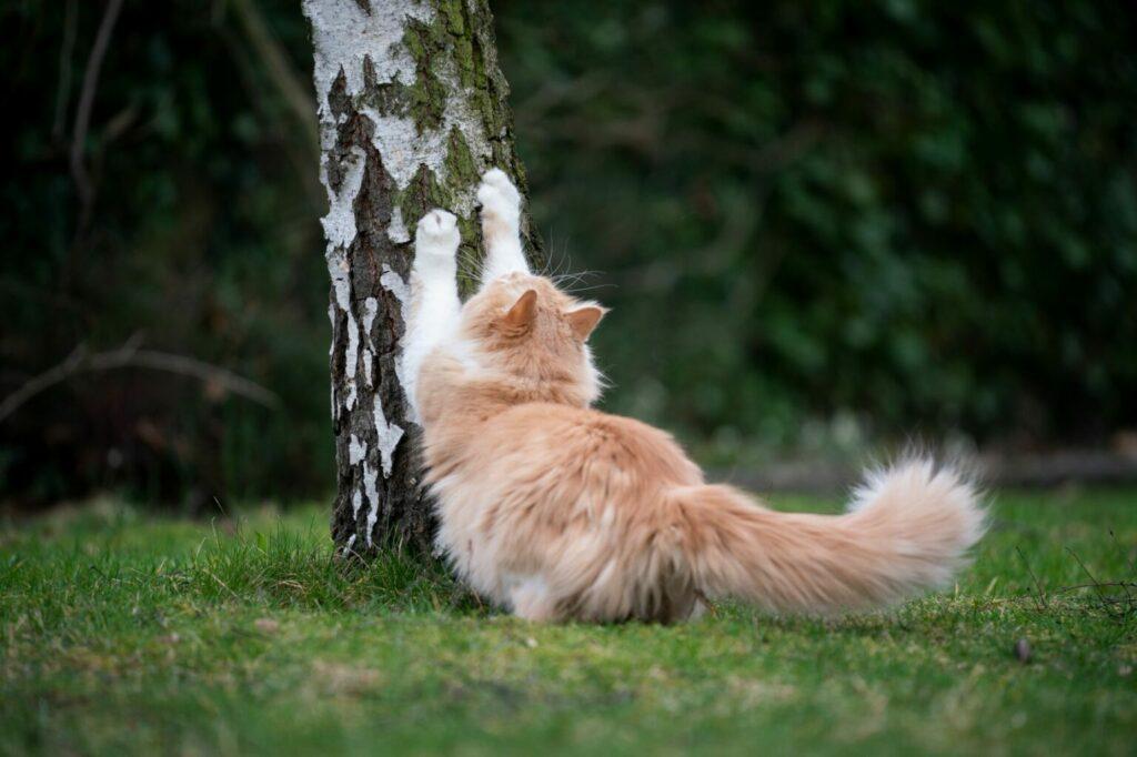 Kat krabt aan berkenboom
