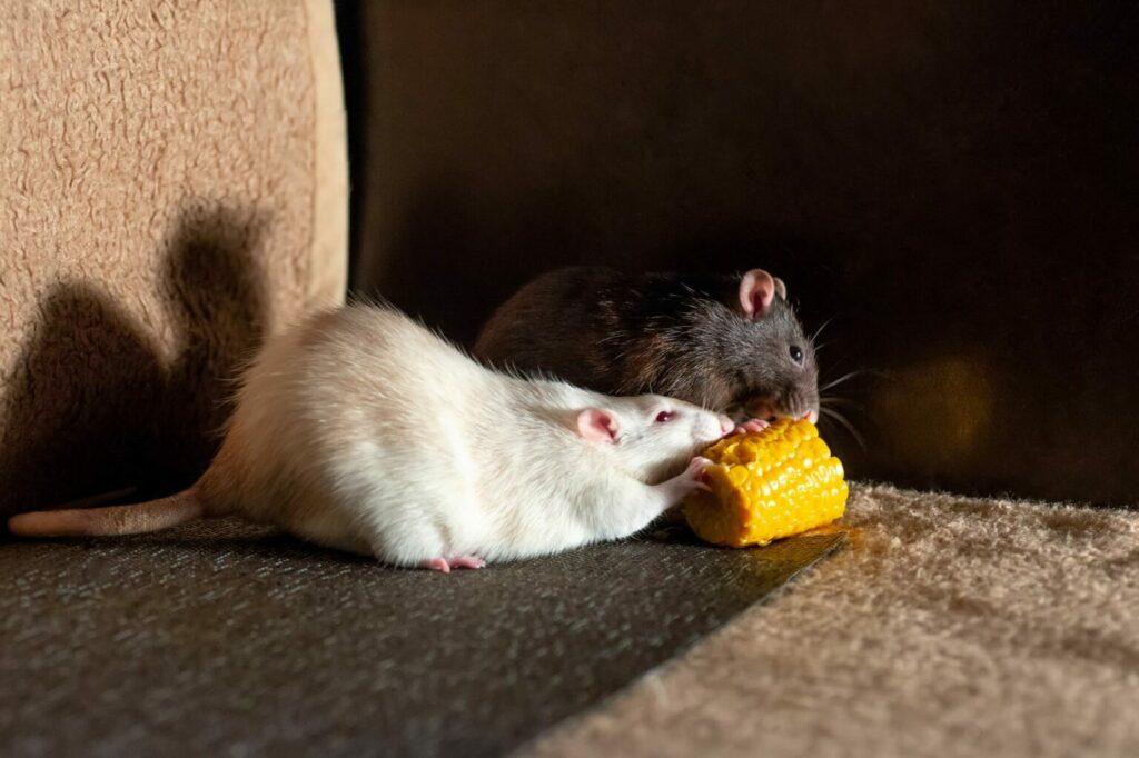 Ratten eten maïs