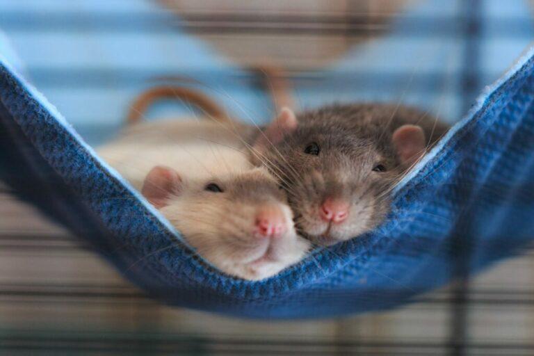 Twee ratten knuffelen