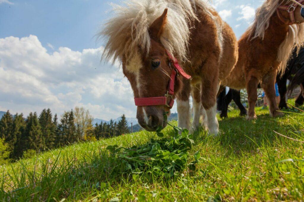 shetland pony in wei