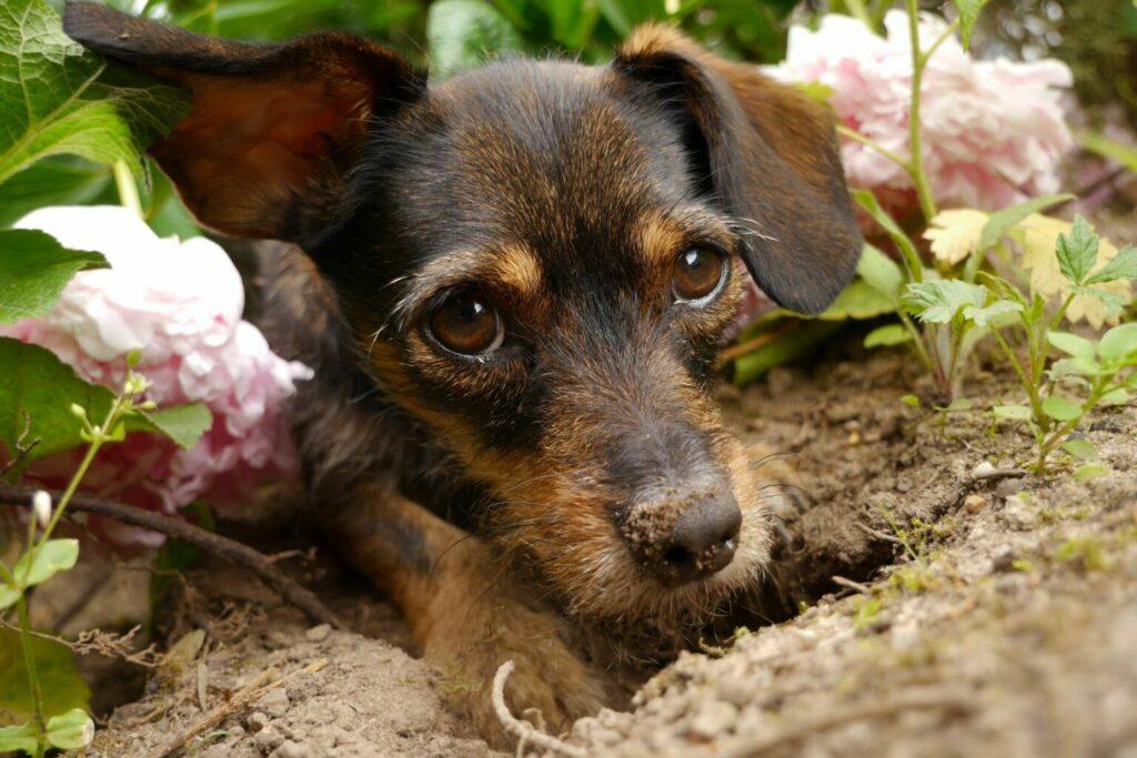Hond graaft een gat in een perk