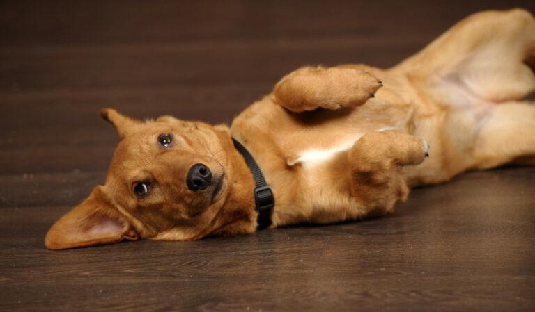 Hond met buikpijn wegens winderigheid