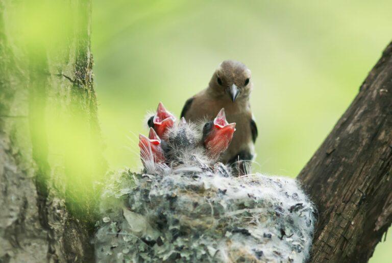 broedtijd van vogels