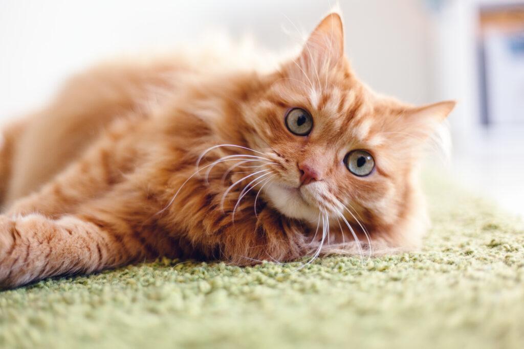 rode kat op tapijt