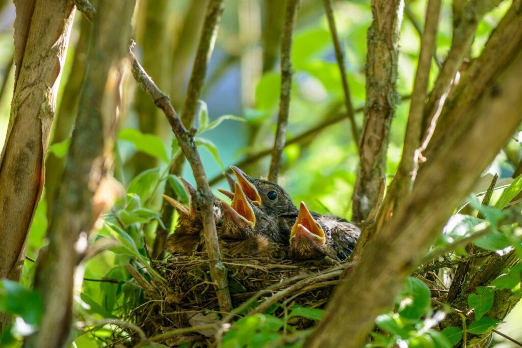 vogelnest met kuikens