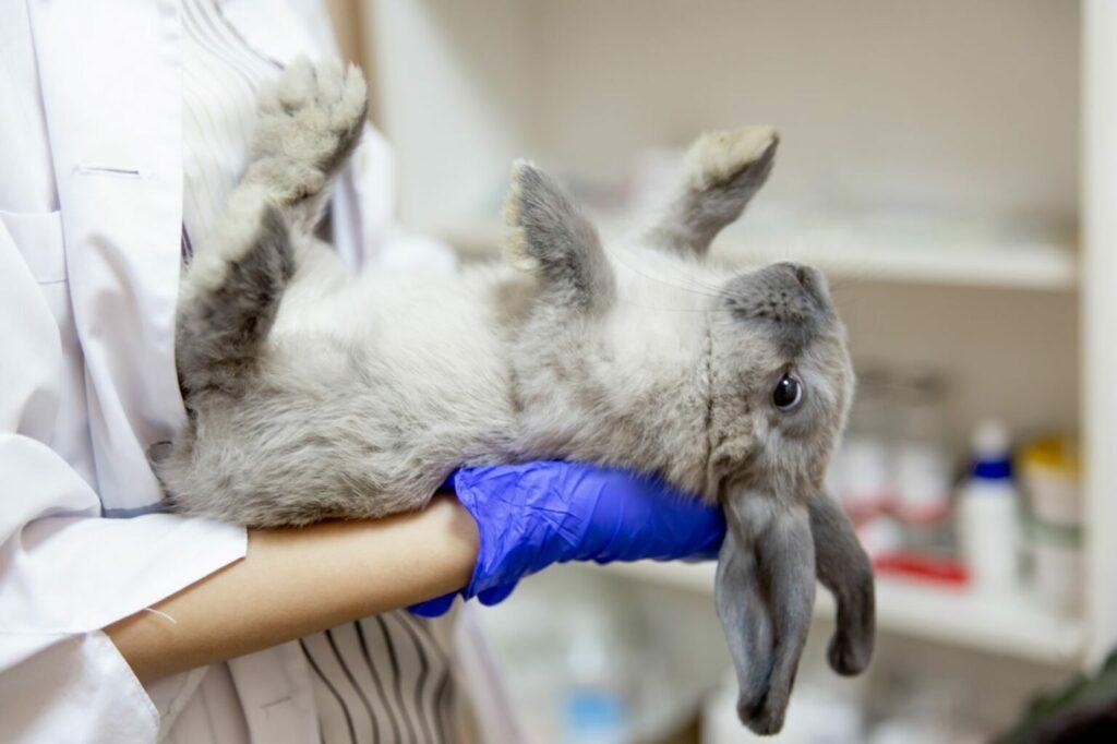 Dierenarts onderzoekt konijn voor de operatie